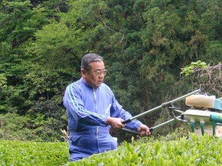 静岡の自家茶畑で収穫作業中のれたす店長